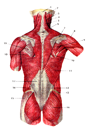 Мышцы тела человека 100
