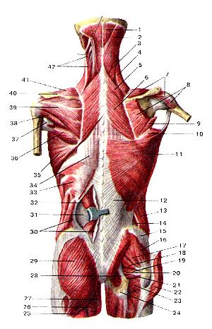 Мышцы тела человека 102