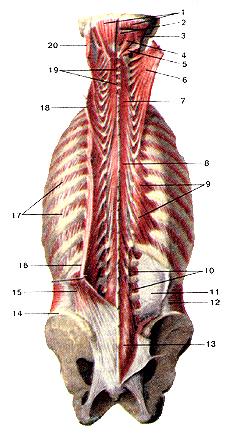Мышцы тела человека 105