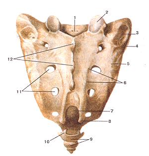 Кости туловища 11