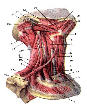 Мышцы шеи 112