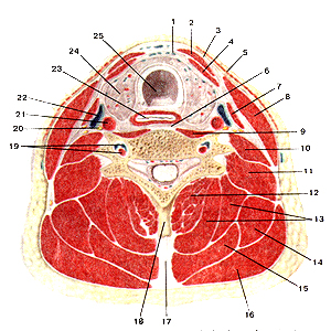 Мышцы шеи 114