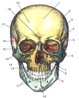 Кости черепа 15