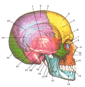 Кости черепа 16