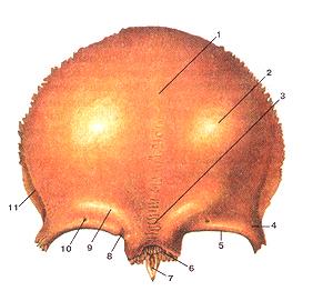 Кости черепа 17
