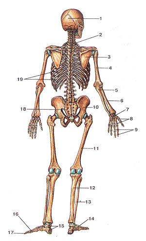 Кости туловища 2
