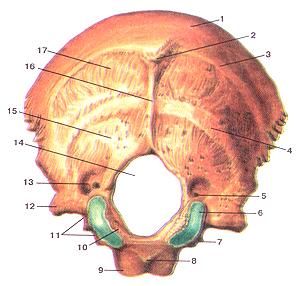 Кости черепа 22
