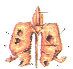 Кости черепа 25