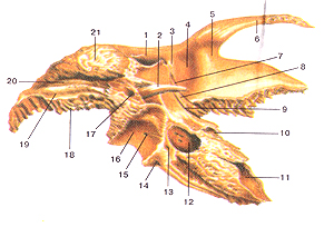 Кости черепа 29