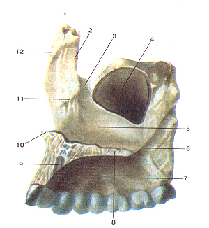 Кости черепа 32