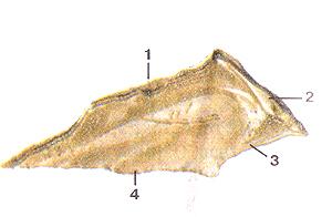 Кости черепа 34