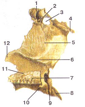 Кости черепа 38