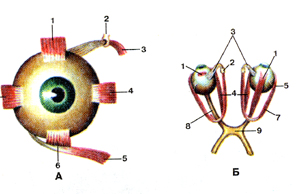 http://anatom.geiha.ru/data/388.jpg