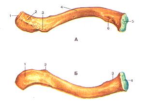 Кости верхних конечностей 51
