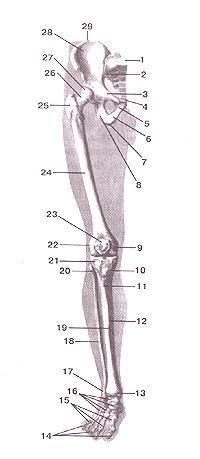Кости нижних конечностей 57