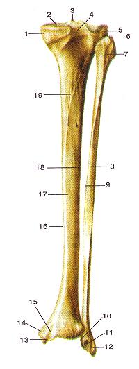 Кости нижних конечностей 66