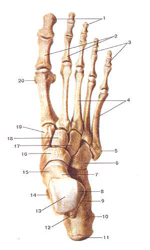Кости нижних конечностей 67