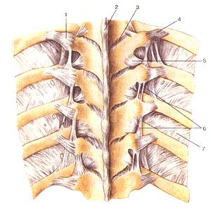 Соединения костей туловища и головы 75