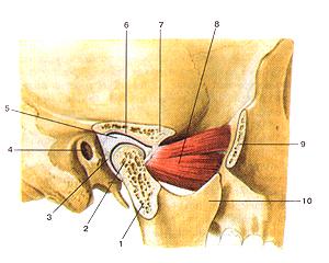 Соединения костей туловища и головы 76