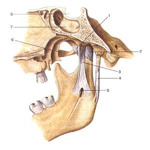 Соединения костей туловища и головы 77