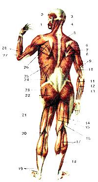 Мышцы тела человека 99